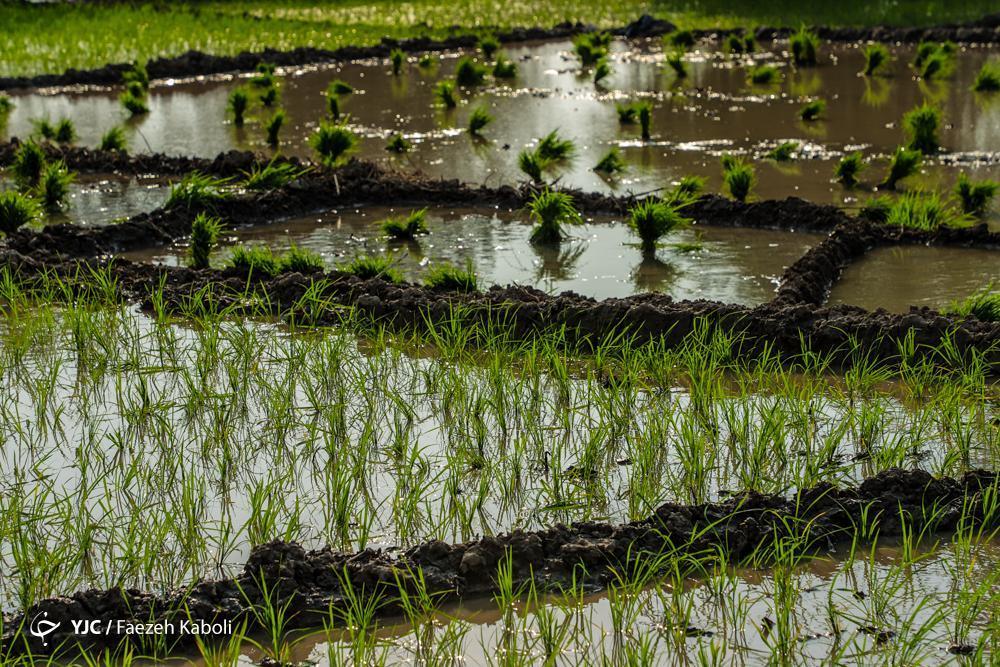 اما و اگر های ممنوعیت کشت برنج در فلات مرکزی ، افزایش قیمت زمینه ساز کشت برنج در مناطق کم آب شد!